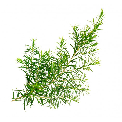 Olejek Eteryczny 6ml - Z Drzewka Herbacianego